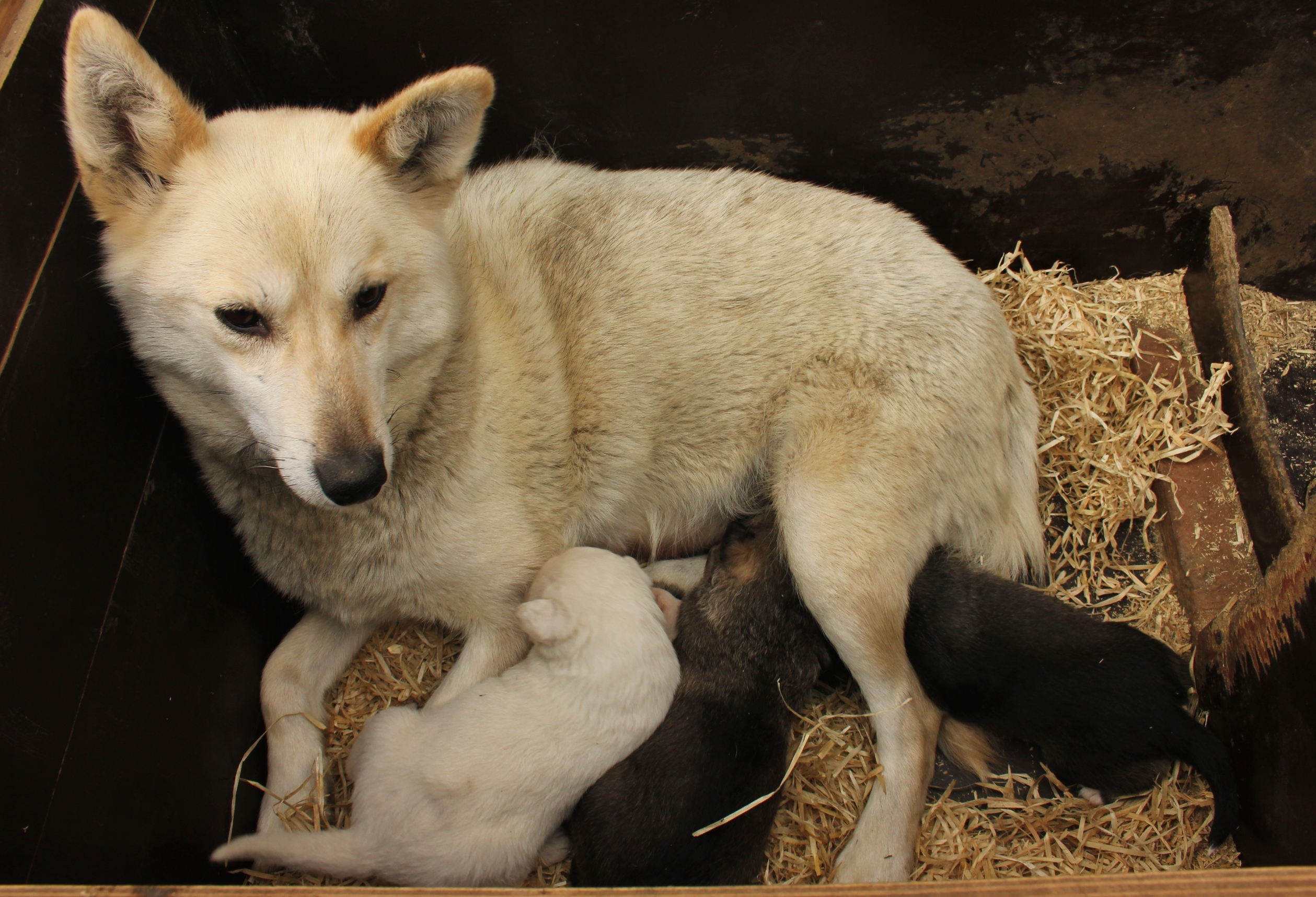 Newly born huskies