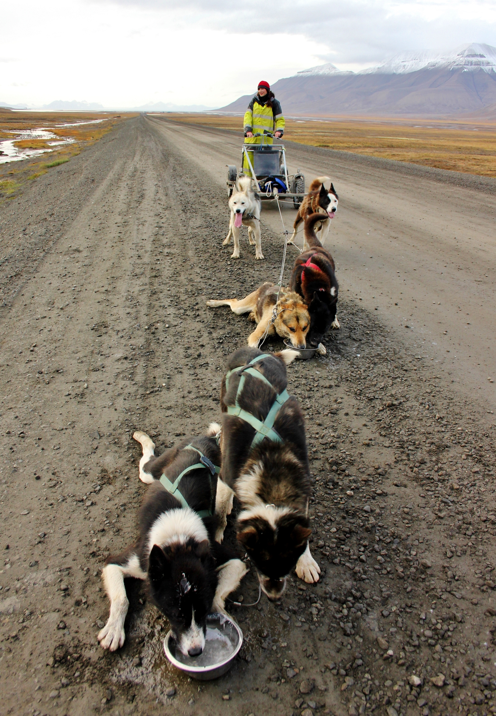 Pack of husky dogs in Svalbard, Norway